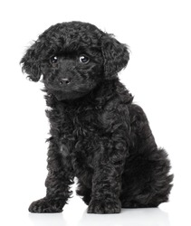 Black Toy Poodle Puppy on a white background