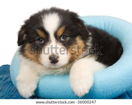 Black tricolor Australian Shepherd pup in blue fur bed, on white background