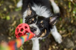 Black tricolour border collie puppy tugging a dog toy