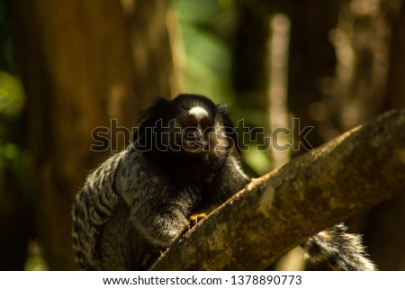 Black-tufted-ear-marmoset (Callithrix penicillata) native of a forest of Rio Acima, city of the metropolitan region of Belo Horizonte. Its habitat is threatened by several mining dams.