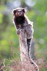 Black-tufted marmoset (Callithrix penicillata) standing on a post in the Brazilian caatinga. Conceição do Coite; Bahia.