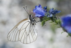 Black Veined White (Aporia crataegi) sitting on a flower