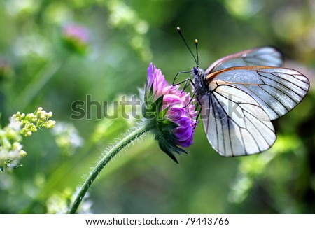 Black-veined White butterfly, Aporia crataegi