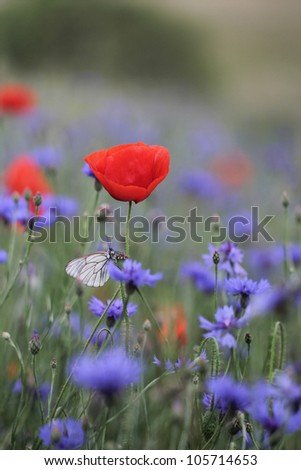 Black-veined White butterfly, Aporia crataegi and cornflowers with poppies