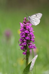 Black-veined White butterfly, Aporia crataegi and Heath Spotted Orchid or Moorland Spotted Orchid (Dactylorhiza maculata)