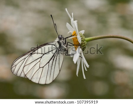 Black - Veined White Butterfly (Aporia crataegi) with an awesome background