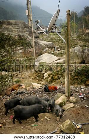 Black vietnamese pigs, Sapa, Vietnam