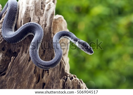 black viper snake on a tree