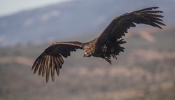 Black vulture flying towards the camera