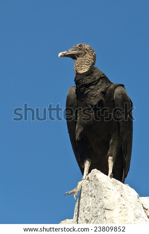 Black vulture scanning the area