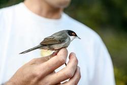 Black warbler, Sylvia melanocephala, captured for ringing and ornithological study.