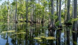 Black water swamp garden in South carolina