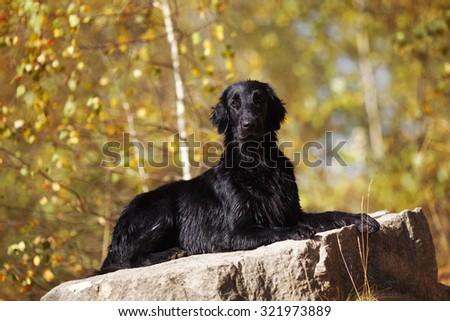 Black wet retriever lies on a large stone