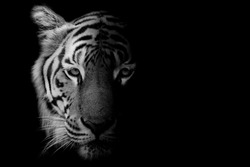 Black & White Beautiful tiger - isolated on black background