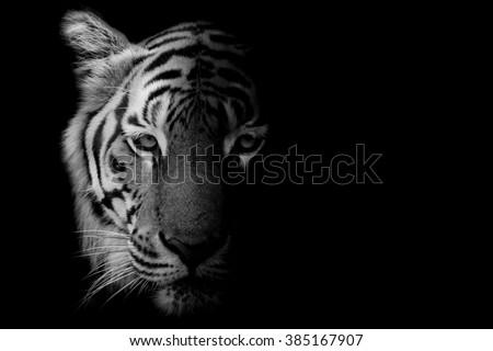 Black & White Beautiful tiger - isolated on black background