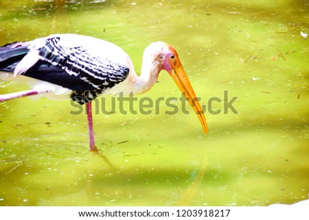 BLACK & WHITE BIRD WITH LONG BEAK LOOKING FOR PREY TO EAT IN WATER