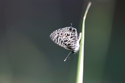 Black & White Butterly (on the grass)