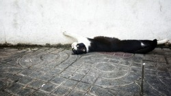 black-white cat lying on concrete floor near white wall and stretching  his paws in the air for relaxing