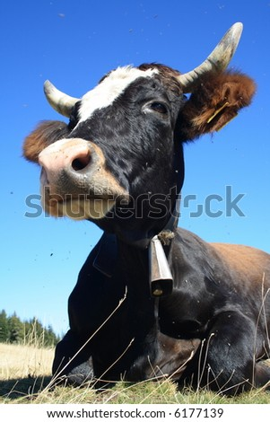 Black-white cow