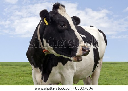 Black & white cow in close up