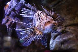 black white dangerous poisonous lionfish, scorpion fish, close up