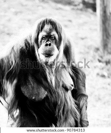 Black &  white image of an adult female orangutan standing .