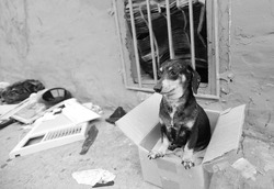Black & white image of small abandoned dachshund looking frightened in small cardboard box on trash-strewn sidewalk
