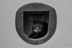 Black & White Inquisitive Cat Looks Through Cat Flap - Lyme, Regis, Dorset