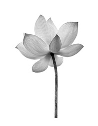 Black white Lotus flower isolated on white background. File contains with clipping path so easy to work.