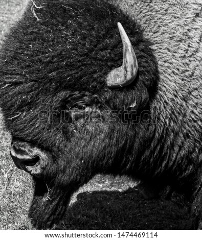Black & White Picture of a Bison.