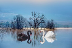 Black & White swan with reflection on water on the background lake trees