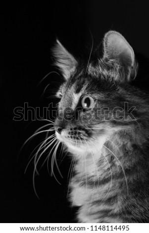Black & White Tabby Kitten #1148114495