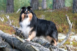 Black white with sable tan shetland sheepdog, sheltie outdoors autumn portrait in the forest. Adorable small collie, little lassie. Herding dog originated in the Shetland Islands of Scotland