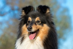 Black white with sable tan shetland sheepdog, sheltie outdoors in the field with blue sky background. Adorable small collie, little lassie. Herding dog originated in the Shetland Islands of Scotland