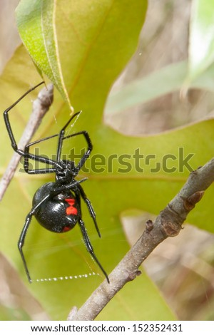 Black Widow #152352431
