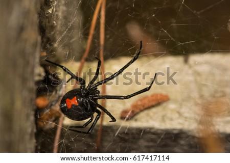 Black Widow Spider #617417114