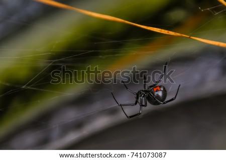 Black Widow Spider #741073087