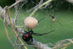 Black Widow Spider -Female, male and egg sac
