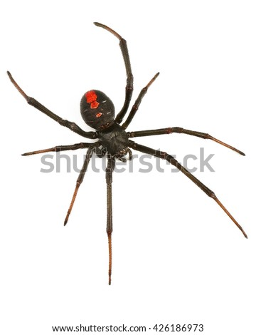 Black Widow Spider / red back spider Isolated on White Background