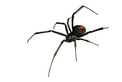 Black Widow Spider / red back spider Isolated on White Background deep focus