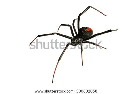 Black Widow Spider / red back spider Isolated on White Background deep focus #500802058