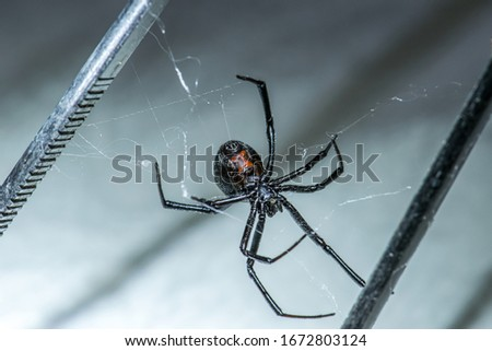 Black Widow Spider Up Close In Home  Сток-фото ©