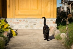 black wild cat goes on the road in the village. A black fluffy beautiful cat goes towards looking at the camera. village cat.