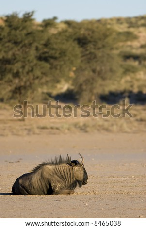 Black wildebeest resting in the afternoon sun in the Kalahari - stock photo