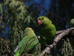 Black-winged Lovebird (Agapornis taranta), pair on branch together in the Bale Mountain national park, Ethiopia