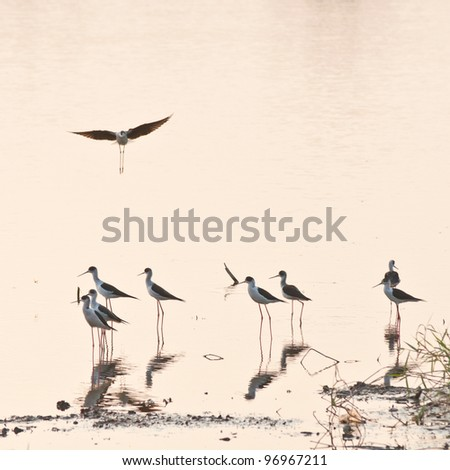 Black-winged Stilt Bird in the Lake