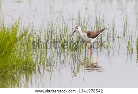 Black-winged Stilt (Himantopus himantopus) Avryp and Asia as well as in Turkey is an avian species are commonly seen in wetlands in Africa. #1341978542