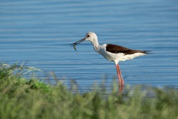 Black-winged stilt (Himantopus himantopus) bird with a fish in its beak on a blue lake in a nice afternoon light.