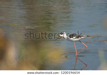 Black-winged stilt (Himantopus himantopus). Inmature. Hiran river. Sasan Gir. Gujarat. India.