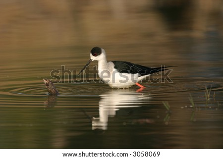 Black-winged stilt (Himantopus himantopus), Keoladeo Ghana National Park, Bharatpur, Rajasthan, India